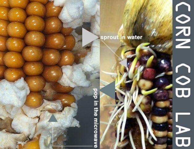 Corn-Cob-Lab