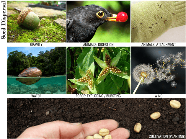 seed dispersal poster