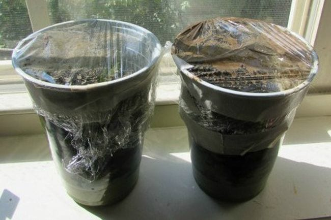 Two plastic cups filled with compost and covered in plastic wrap (Sixth Grade Science)