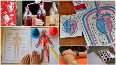 Collage of Circulatory System Activities for Students