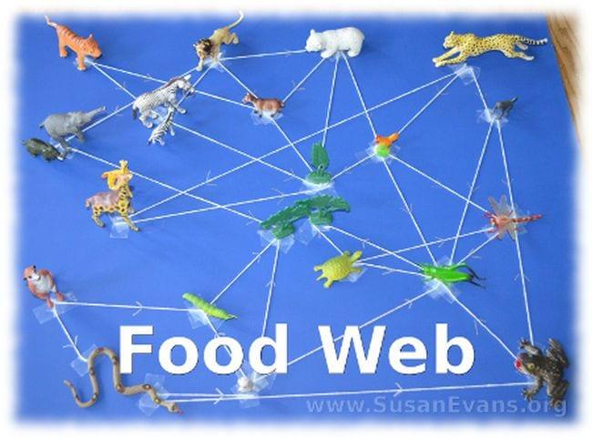 Food Web Susan Evans