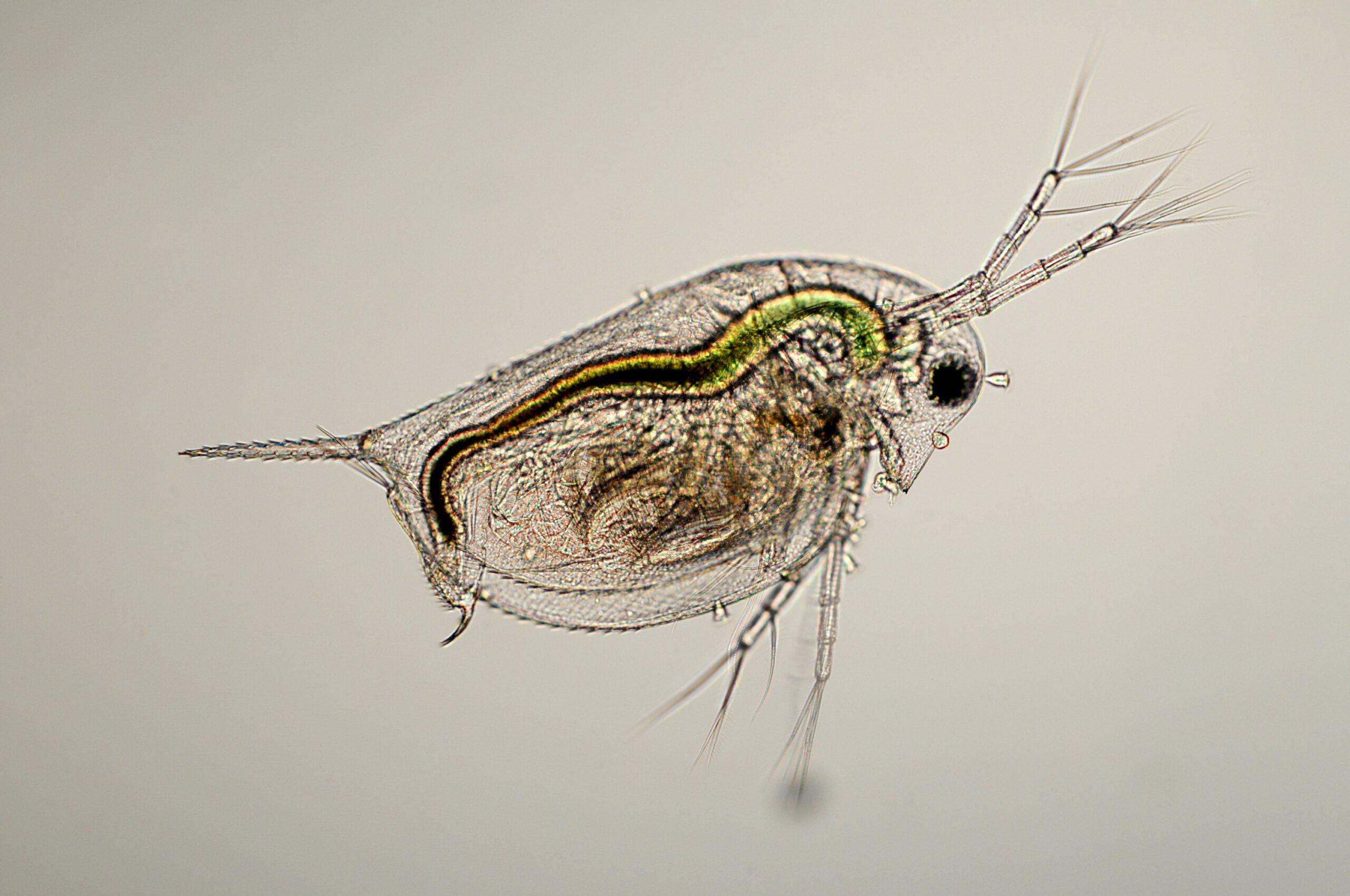 Daphnia species micrograph