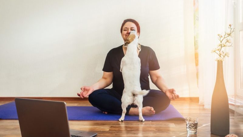 An adult woman with a Jack Russell dog practicing online yoga lessons at home and the dog is licking her face.
