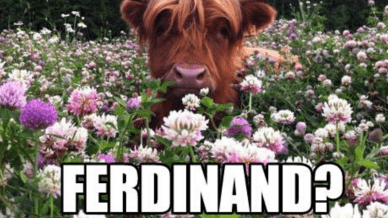 "A cow in a purple flower field with the words, ""Ferdinand?"""