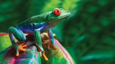 Green Tree Frog on a Leaf