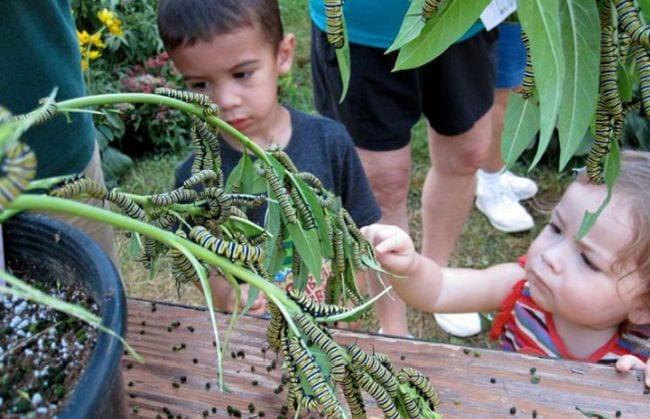 Students looking at monarch caterpillars on milkweed