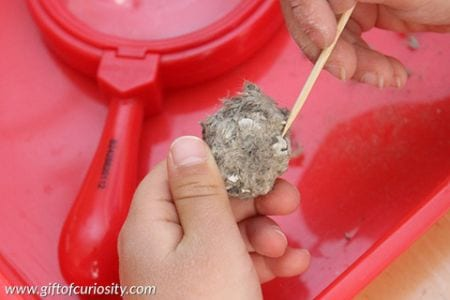 Owl pellet 6th grade science Gift of Curiosityjpg