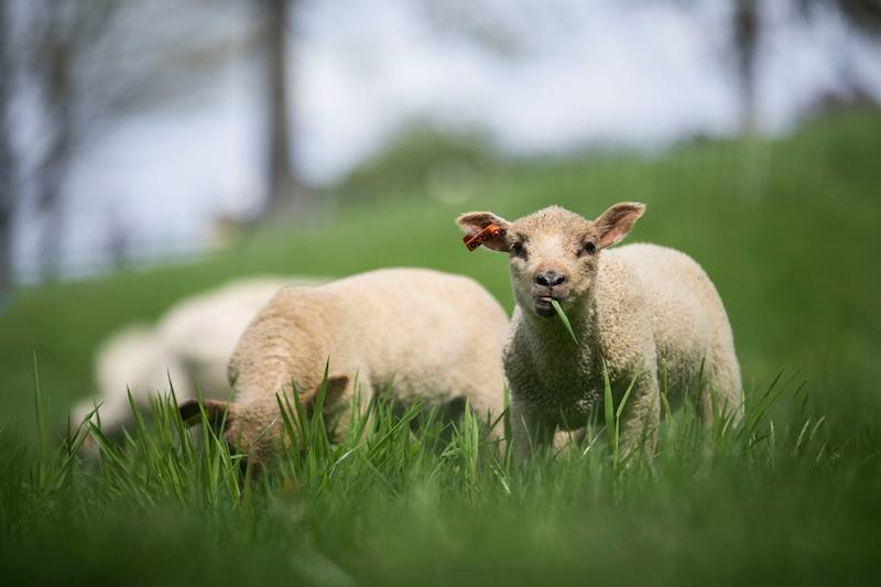 Young sheep grazing in a field - Free Teacher Trip