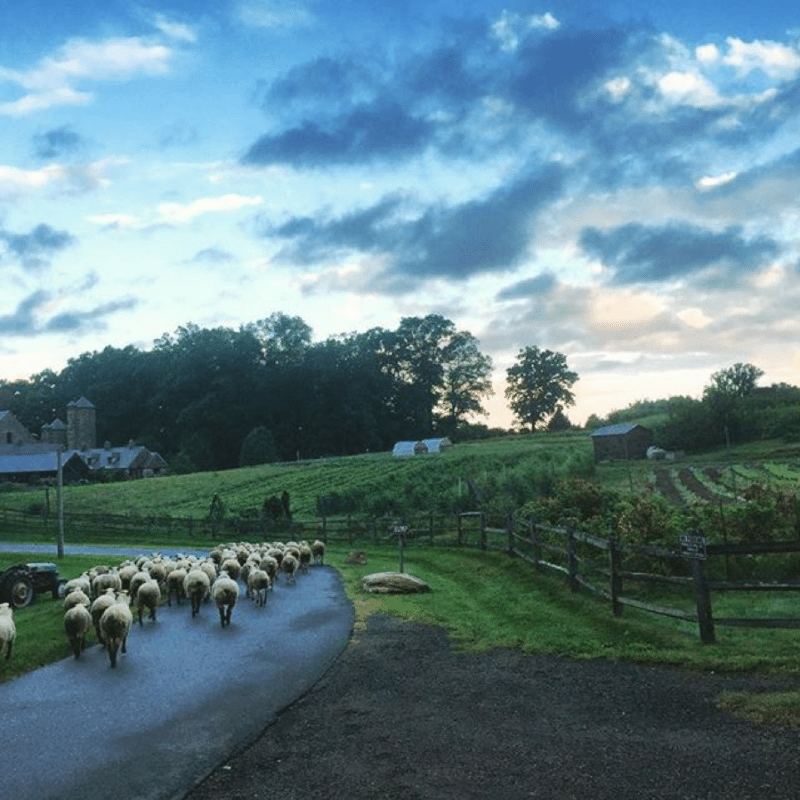 Stone Barns farm with sheep – Professional Development for Teachers
