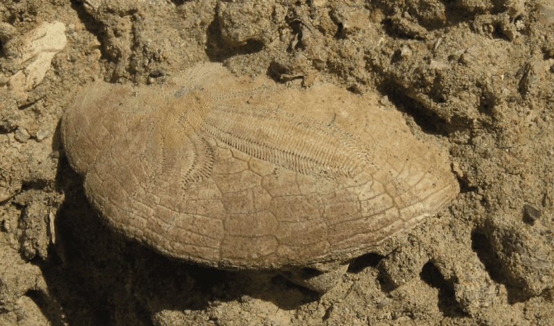 Fossil partially dug out of the dirt.