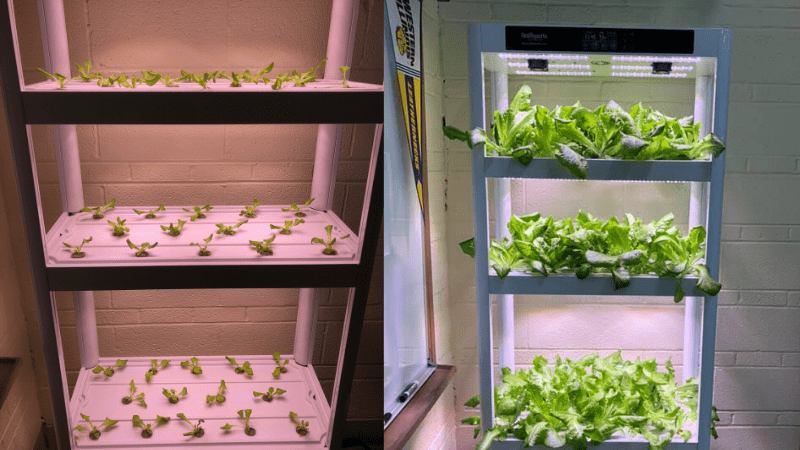 Hydroponic classroom garden seedling and full grown lettuce