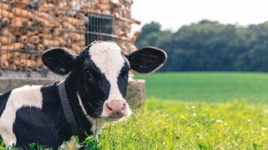 A black and white calf sitting in a field at one of the family dairy farms