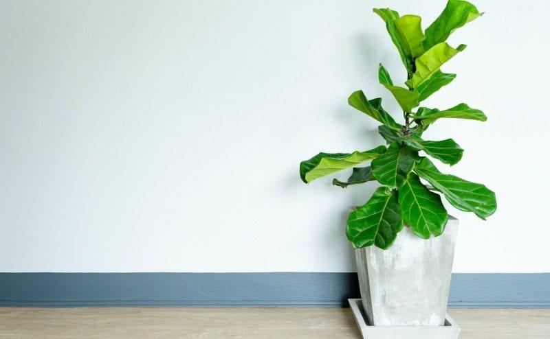 classroom-plants-fiddle-WeAreTeachers