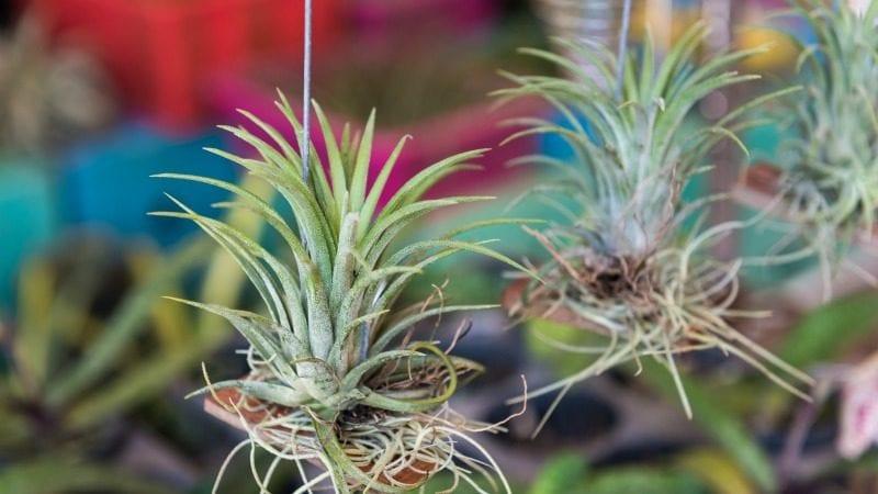classroom-plants-air-plants-WeAreTeachers
