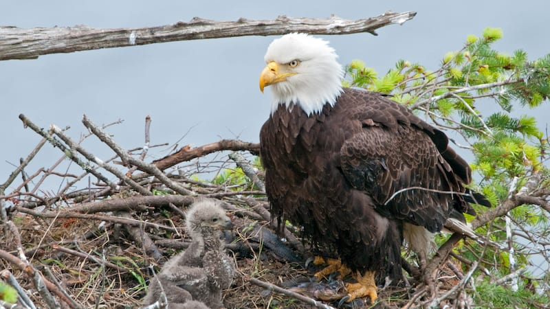 Check Out These Eagle Cams to Use with Kids in the Classroom