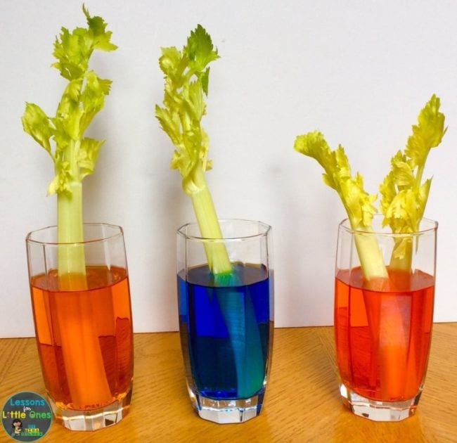 Three glasses of water dyed different colors with a celery stalk in each (First Grade Science Experiments)