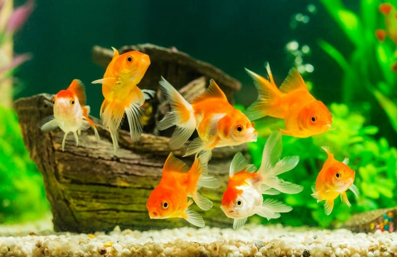 fish in fishtank -- high school classroom pet