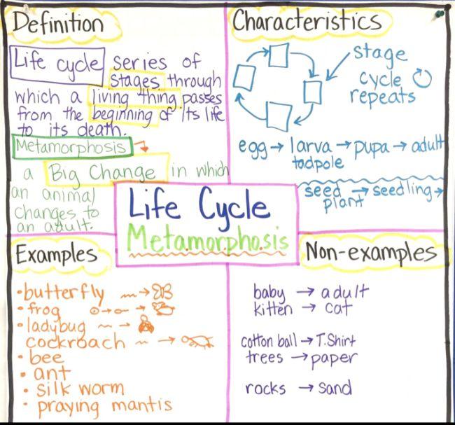 Frayer model graphic organizer for vocabulary word Metamorphosis
