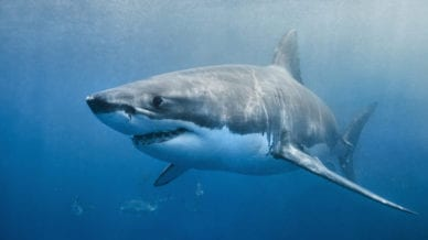 Great white shark in the ocean