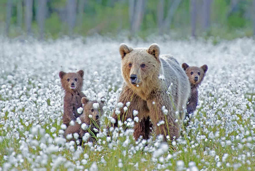 Mama bear and two baby bears in a field of flowers
