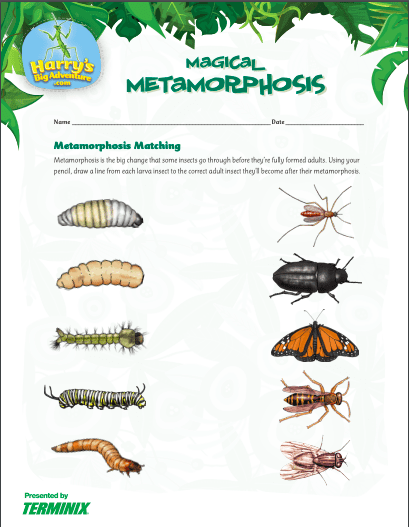 metamorphosis insect activities: matching game with various insects on a worksheet