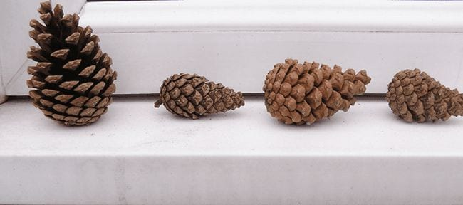 Four pinecones sitting in a row (Outdoor Science)