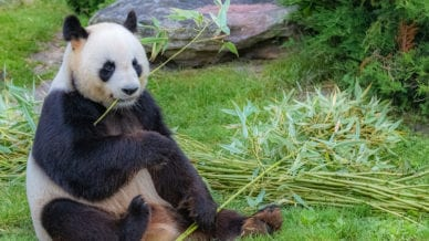 Seated giant panda eating bamboo