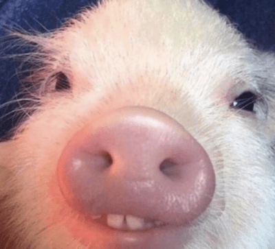 Close up of pig showing teeth