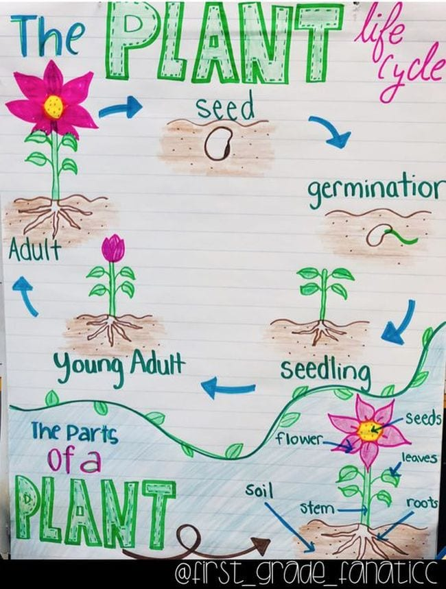 Anchor chart showing the life cycle and parts of a plant