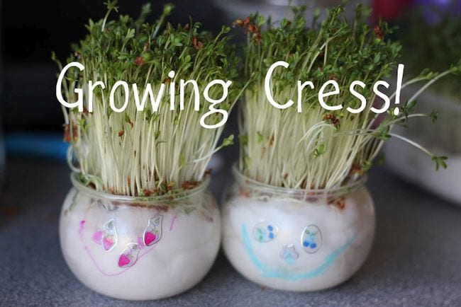 Watercress grown in two round jars filled with wet cotton, with faces drawn on the jars. Text reads Growing Cress!