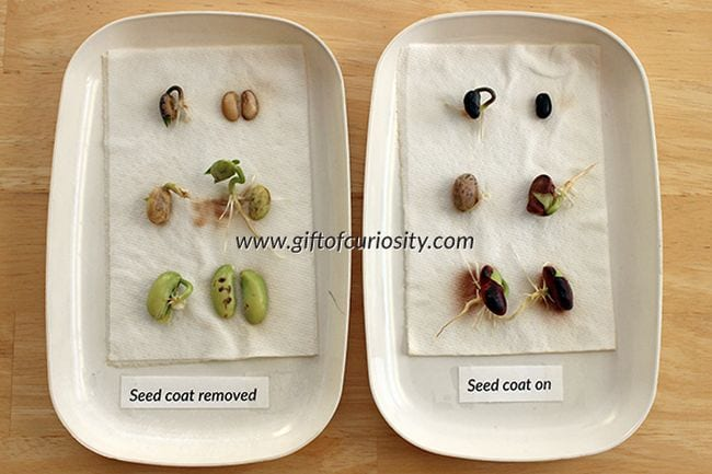 Two plates of sprouted seeds, one with seed coats removed
