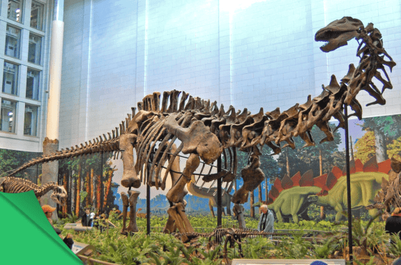 Skeleton of a dinosaur assembled at a museum.