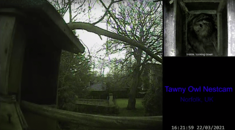 Screenshot of tawny owl webcam