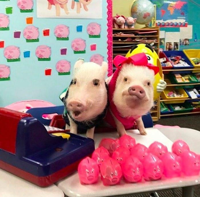 teacher_pig_pets_match